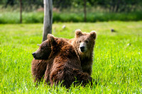 A Couple of Kodiak Grizzly Cubs BV